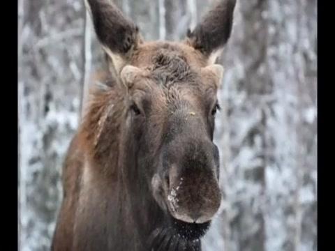 Ak moose Craigslist monteagle tn